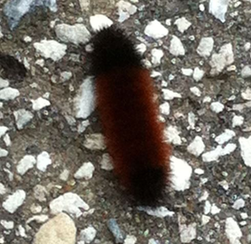 Wooly bear caterpillar 8