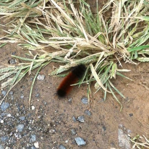 Wooly bear caterpillar 4