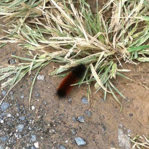 Wooly bear caterpillar 4