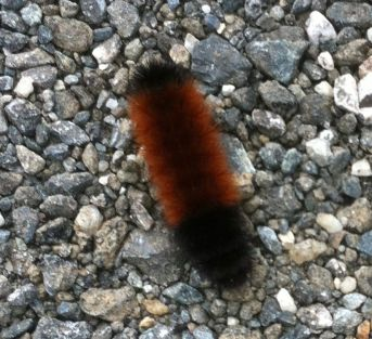 Wooly bear caterpillar 3