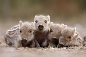 baby-boars-20