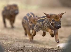 Baby-Wild-Boar