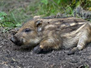 baby_boar-7742.BabyWildBoarSusscrofa