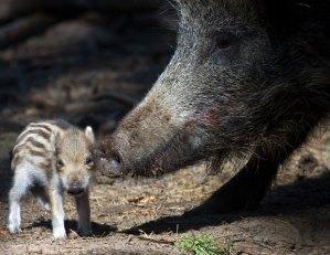 wild-boar_1859340i